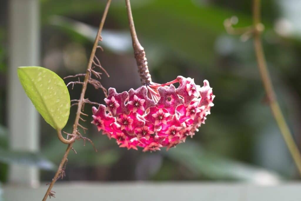 Wachsblume (Hoya)