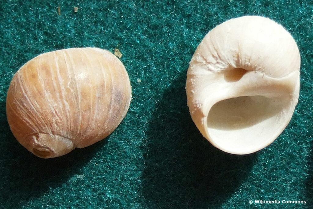 Glänzende Nabelschnecke (Euspira pulchella)