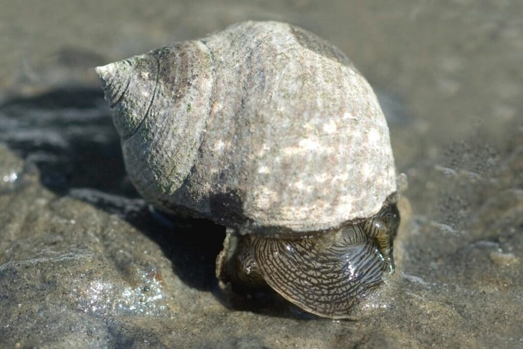 Große Strandschnecke (Littorina littorea)