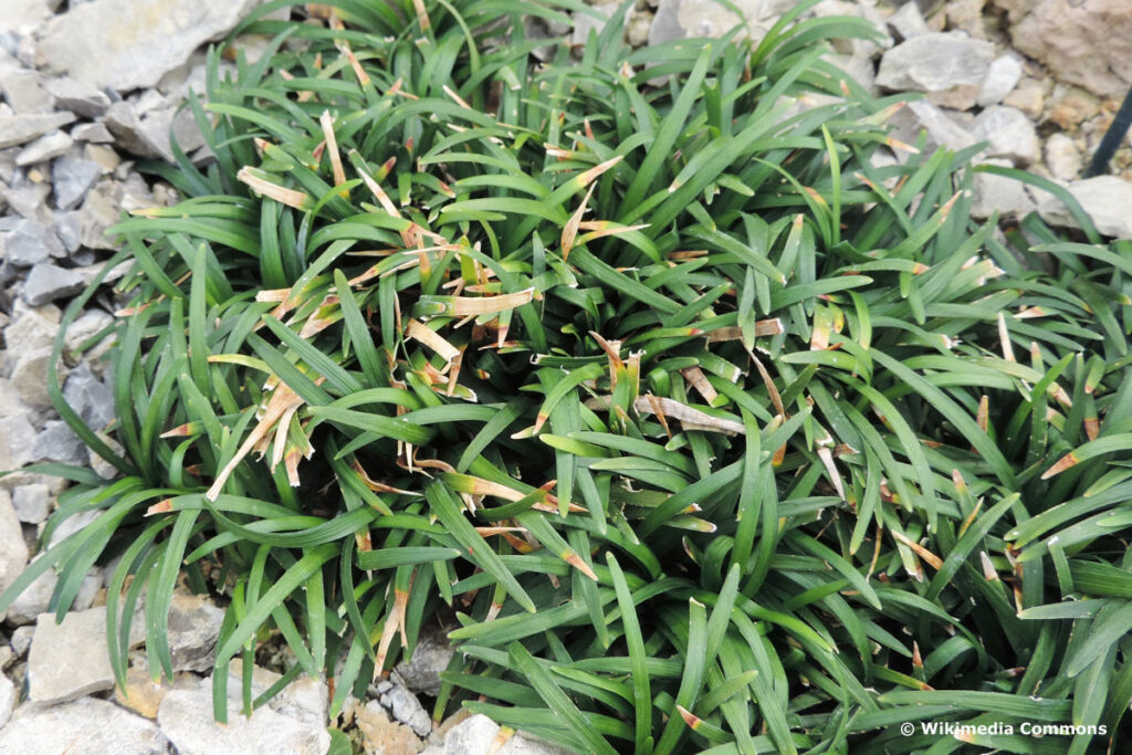 Kleiner Schlangenbart (Ophiopogon japonicus 'Minor')
