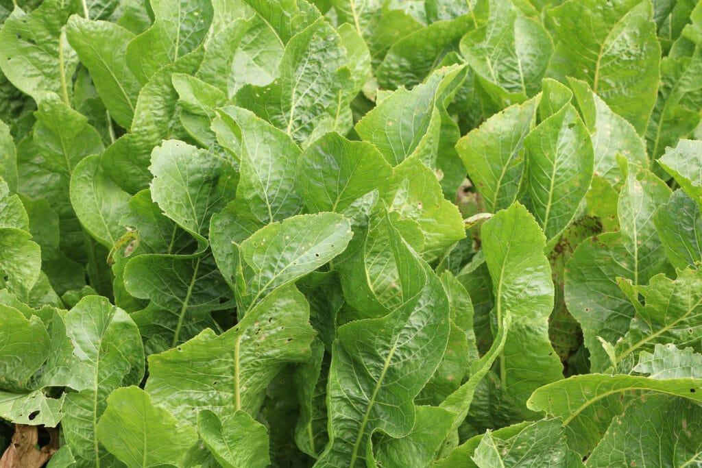 Meerrettich (Armoracia rusticana)