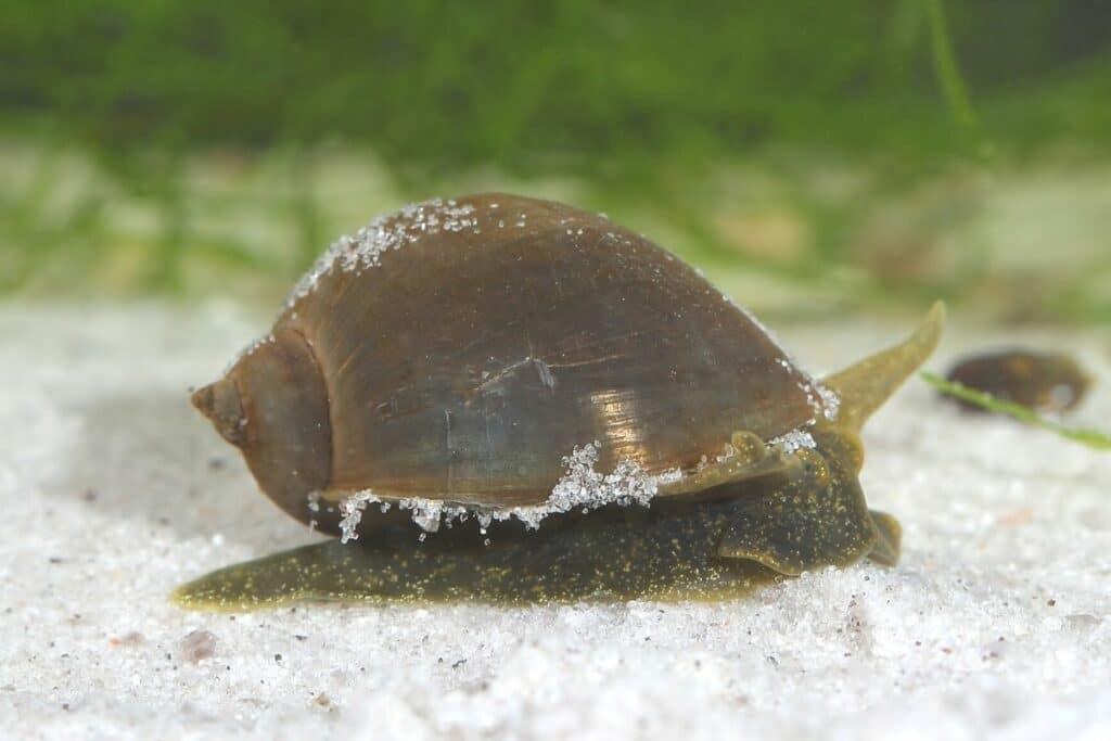 Ohr-Schlammschnecke (Radix auricularia)