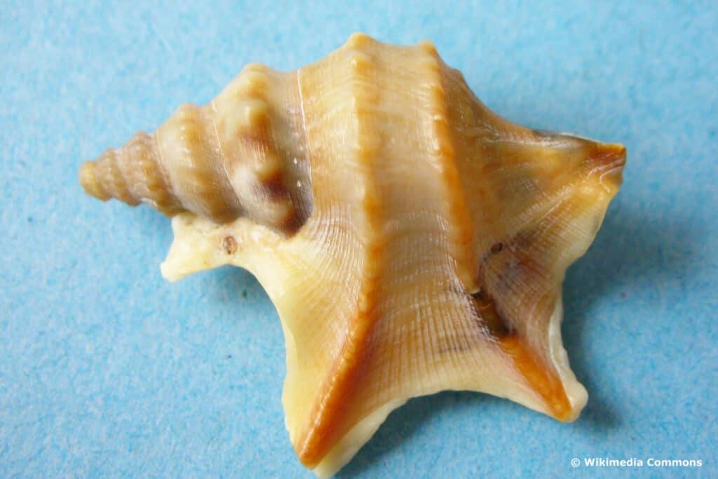 Pelikanfuß (Aporrhais pespelecani)