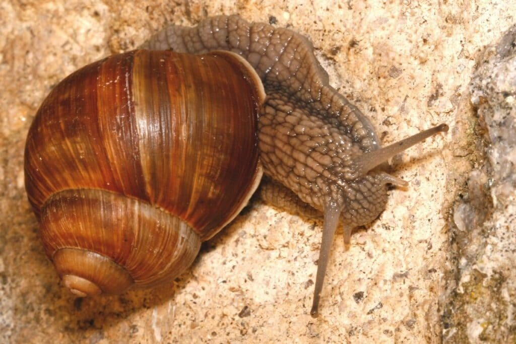 Weinbergschnecke (Helix pomatia)