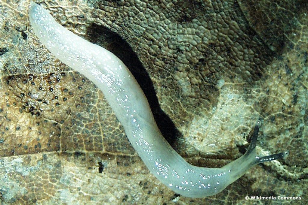 Wurmnacktschnecke (Boettgerilla pallens)