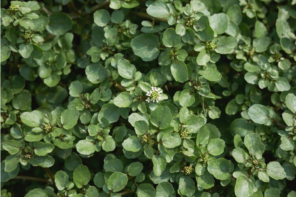 Brunnenkresse (Nasturtium officinale)
