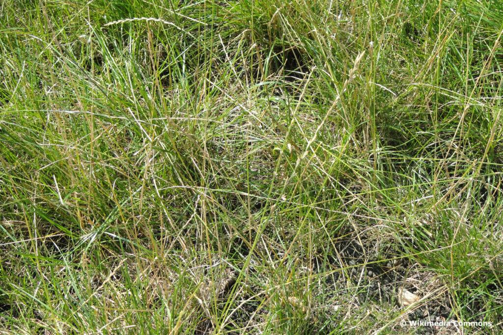 Deutsches Weidelgras (Lolium perenne)