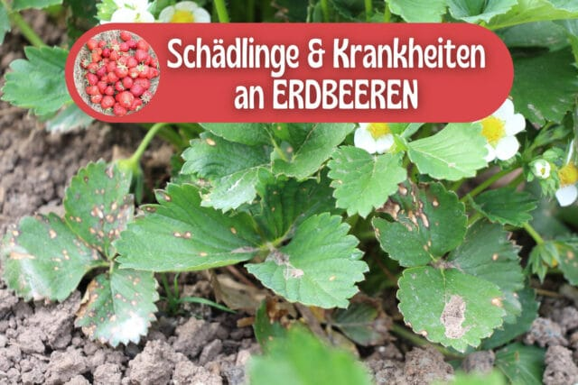 Schädlinge und Krankheiten an Erdbeeren