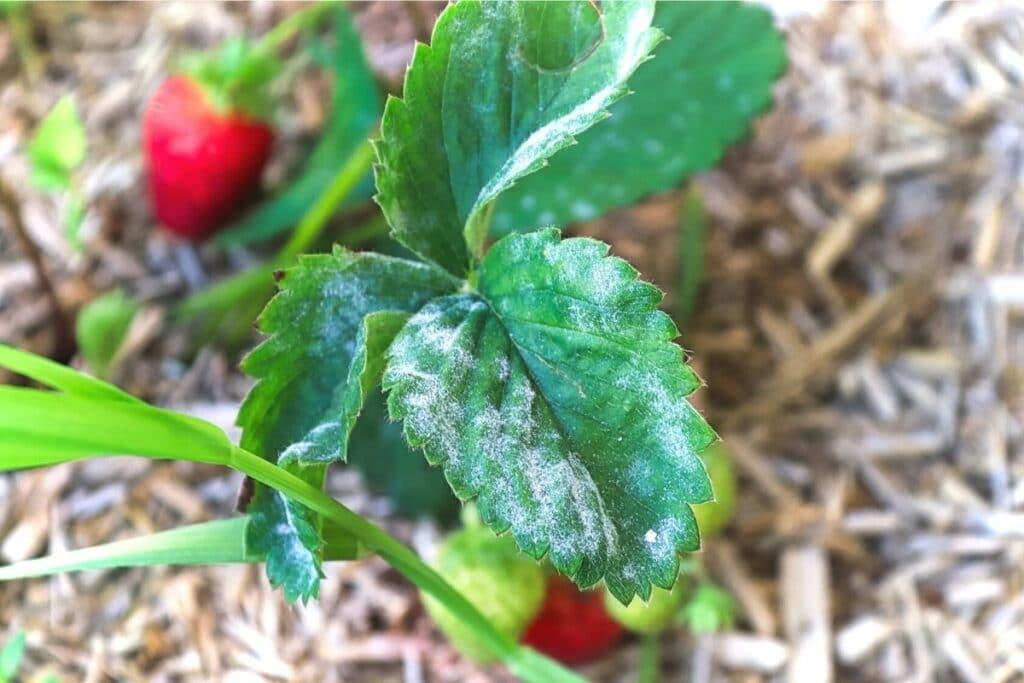Krankheiten an Erdbeeren - Erdbeermehltau (Sphaerotheca macularis)