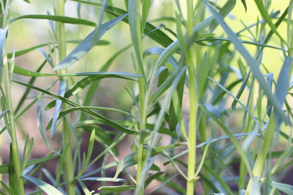 Estragon (Artemisia drancuculus)