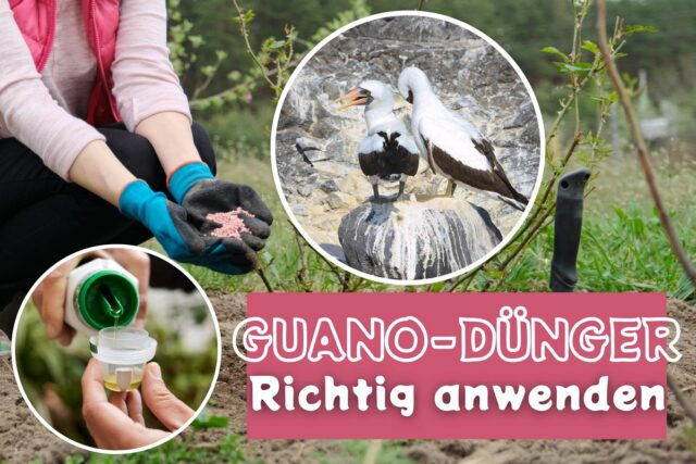 Guano-Dünger anwenden