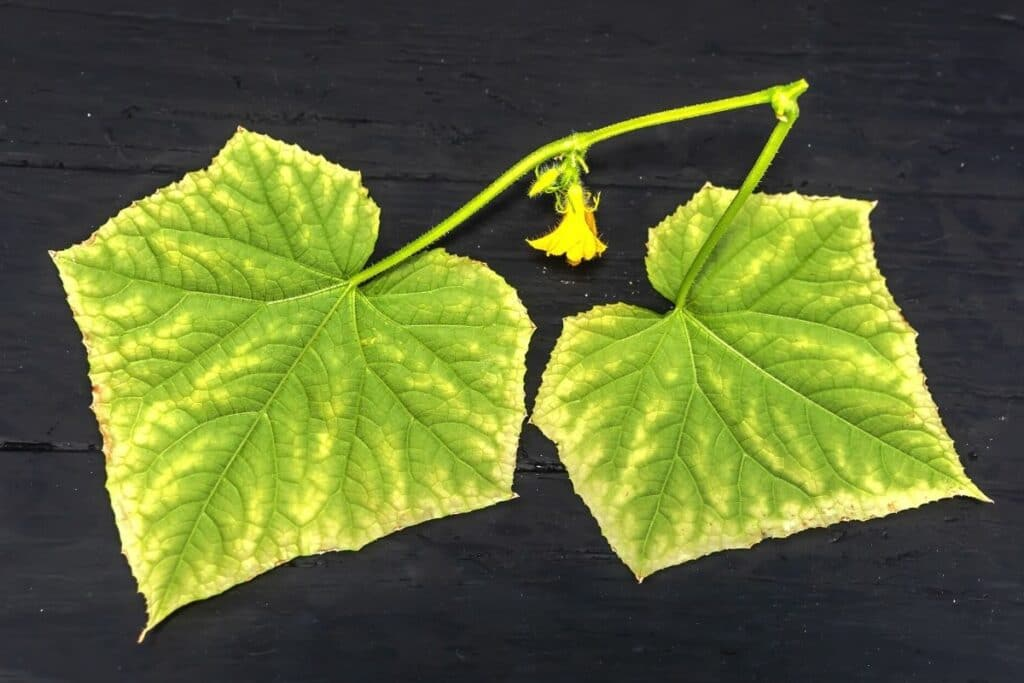 Gelber Blattränder an Gurken - Hinweis auf Nährstoffmangel
