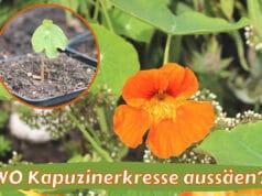 Kapuzinekresse Aussaat im Topf oder im Freiland