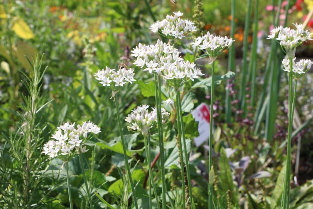 Knoblauch-Schnittlauch (Allium tuberosum)
