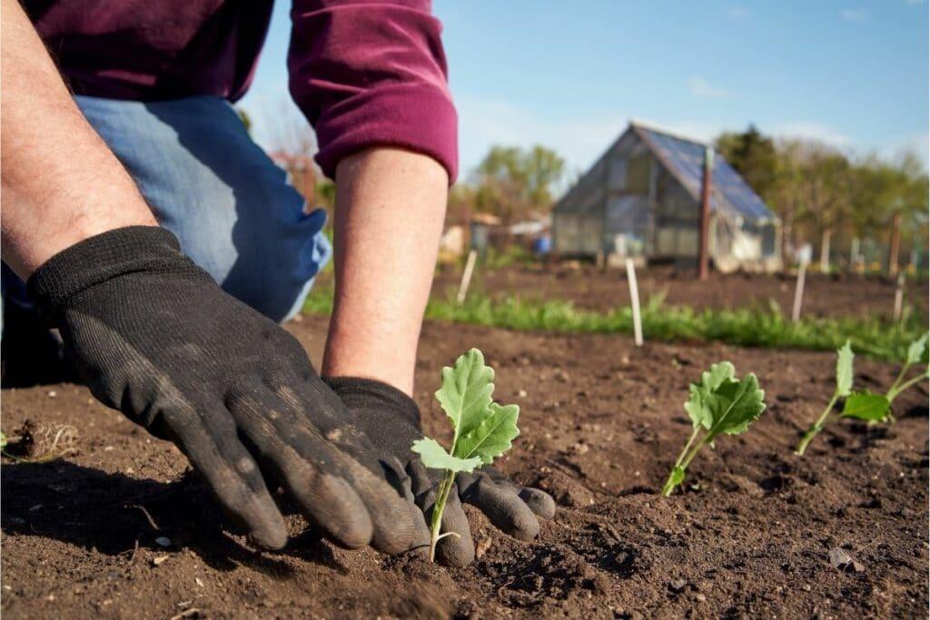 Kohlrabi-Jungpflanzen nach dem Frost ins Beet setzen
