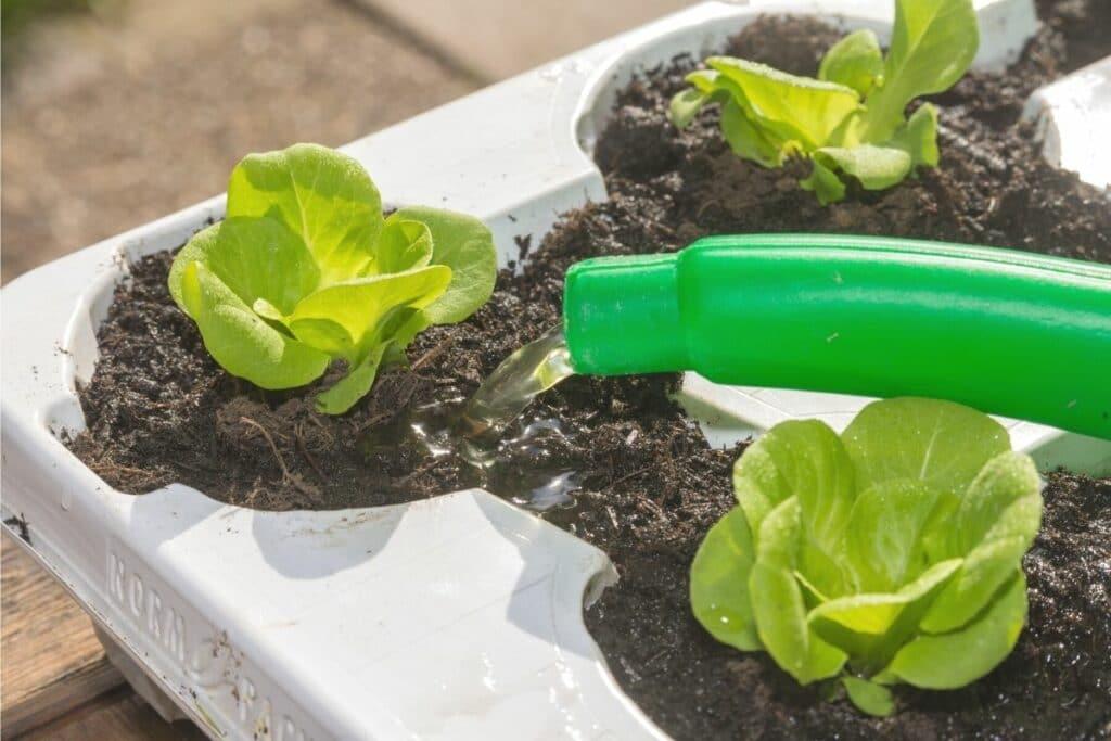 Jungen Salat gießen