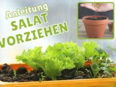 Salat vorziehen - Anzuchtschale am Fenster und Anzuchttopf mit Samen