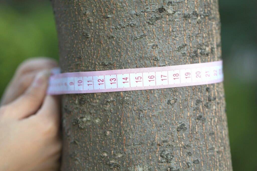 Stammdurchmesser mit Maßband messen