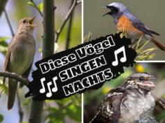 Welche Vögel singen nachts - Nachtigall, Gartenrotschwanz und Ziegenmelker