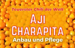 Aji Charapita anbauen