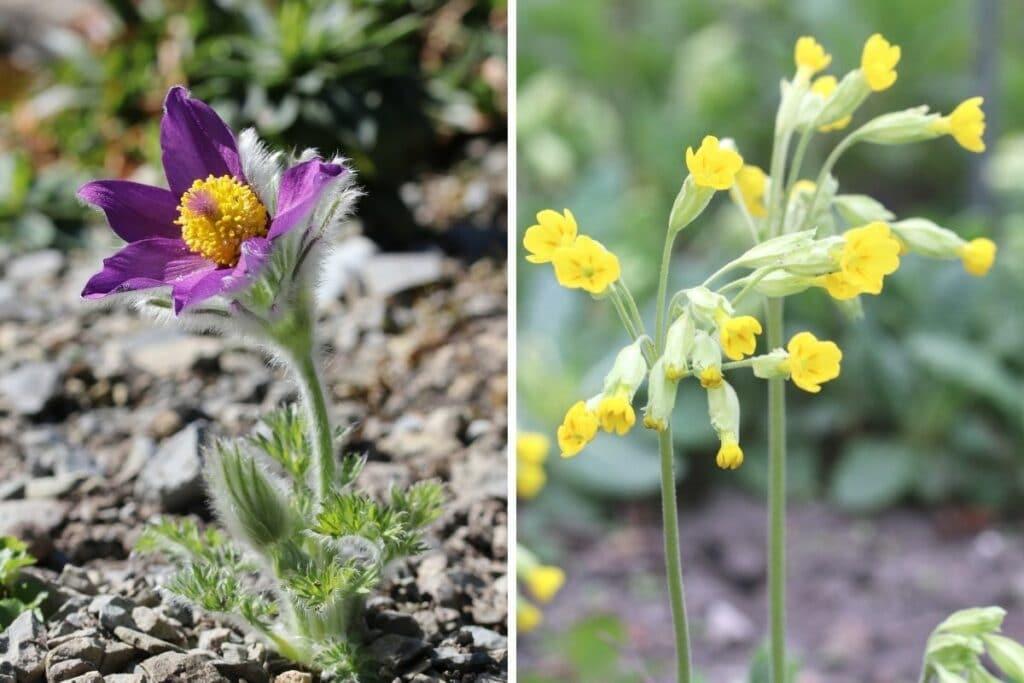 Gewöhnliche Küchenschelle (Pulsatilla vulgaris) und Echte Schlüsselblume (Primula veris)