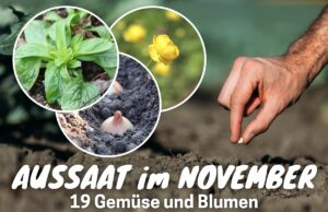 Pflanzen im November aussäen - Feldsalat, Trollblume und Zwiebel