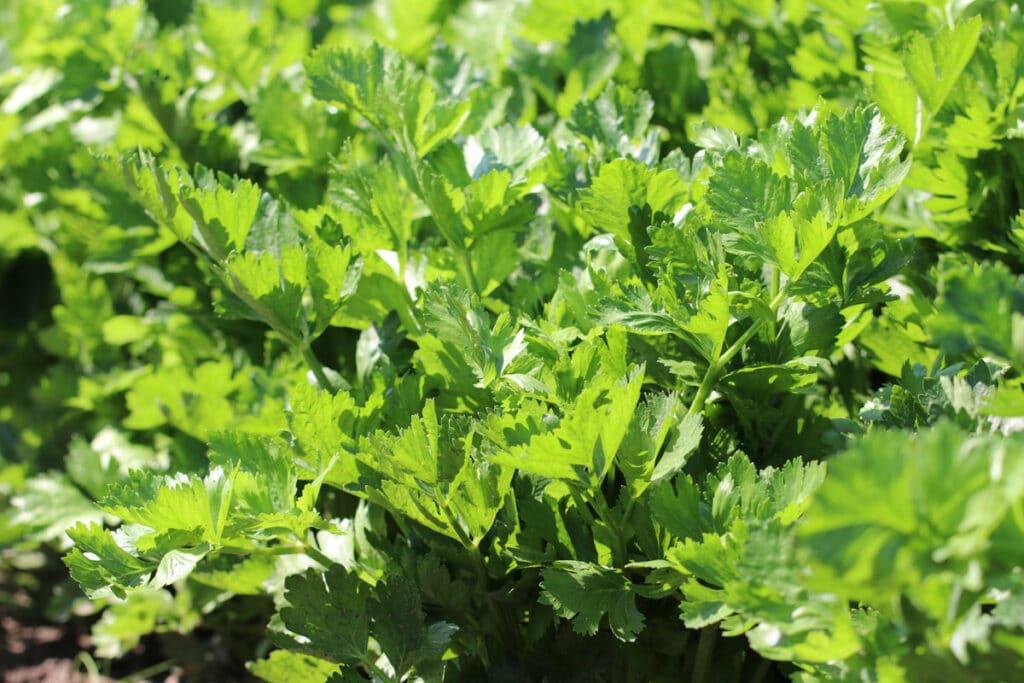 Stangensellerie (Apium graveolens)