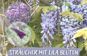 Sträucher mit lila Blüten - Blauregen, Flieder und Rhododendron