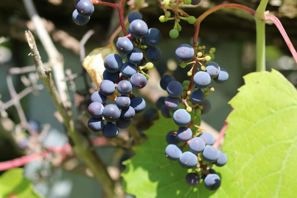 Wein (Vitis)