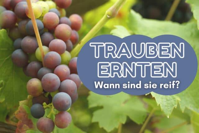 Weintrauben ernten - Weinrebe