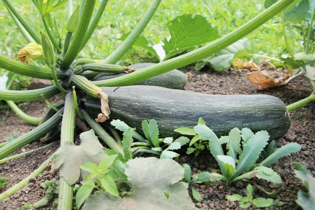 Zucchini (Cucurbita pepo)
