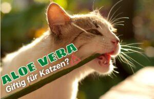 Ist Aloe vera giftig für Katzen - Katze knabbert an Aloe vera