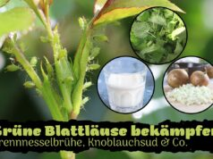 Grüne Blattläuse bekämpfen